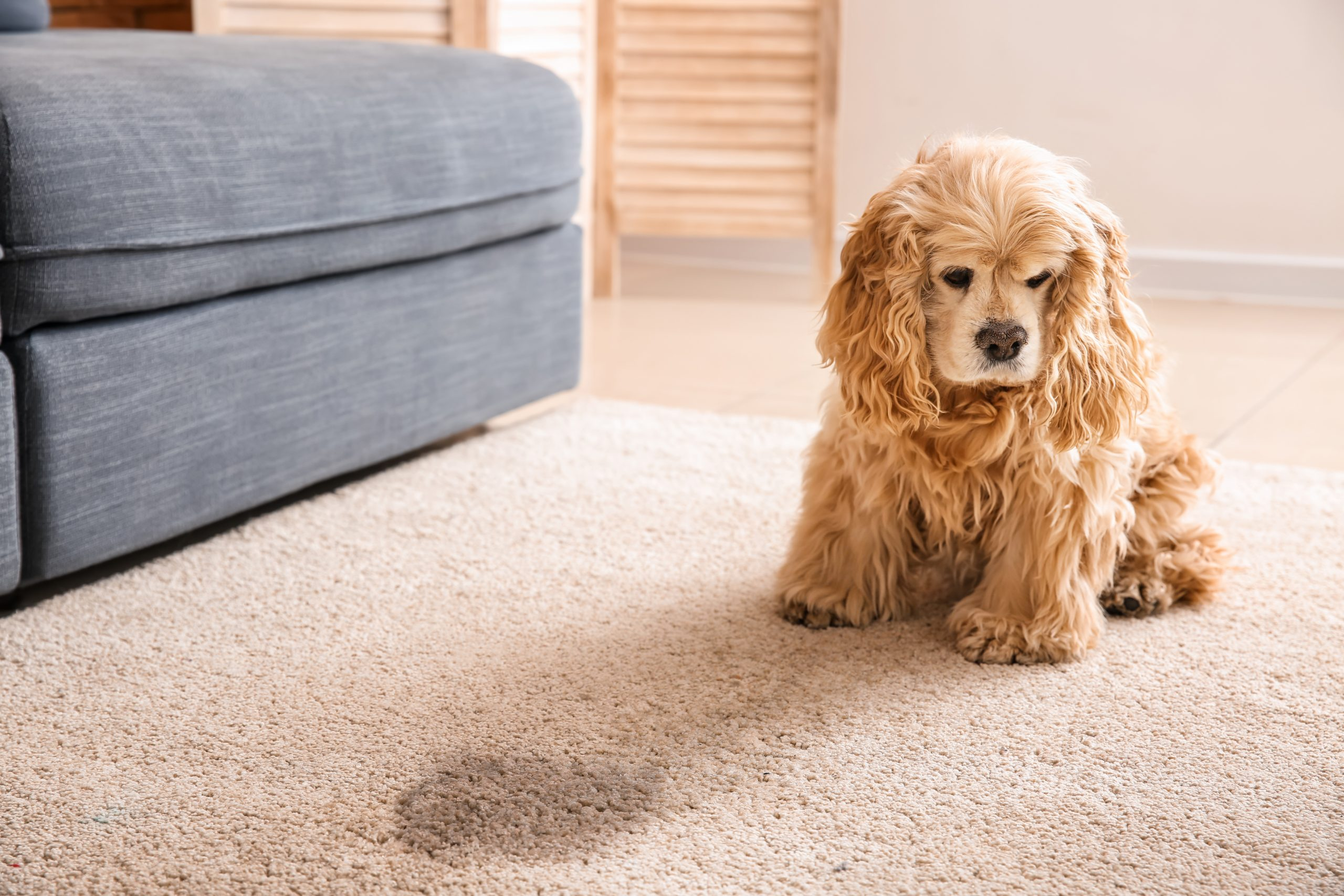 Reasons Why Pet Urine Is HarmfulToYour Carpet
