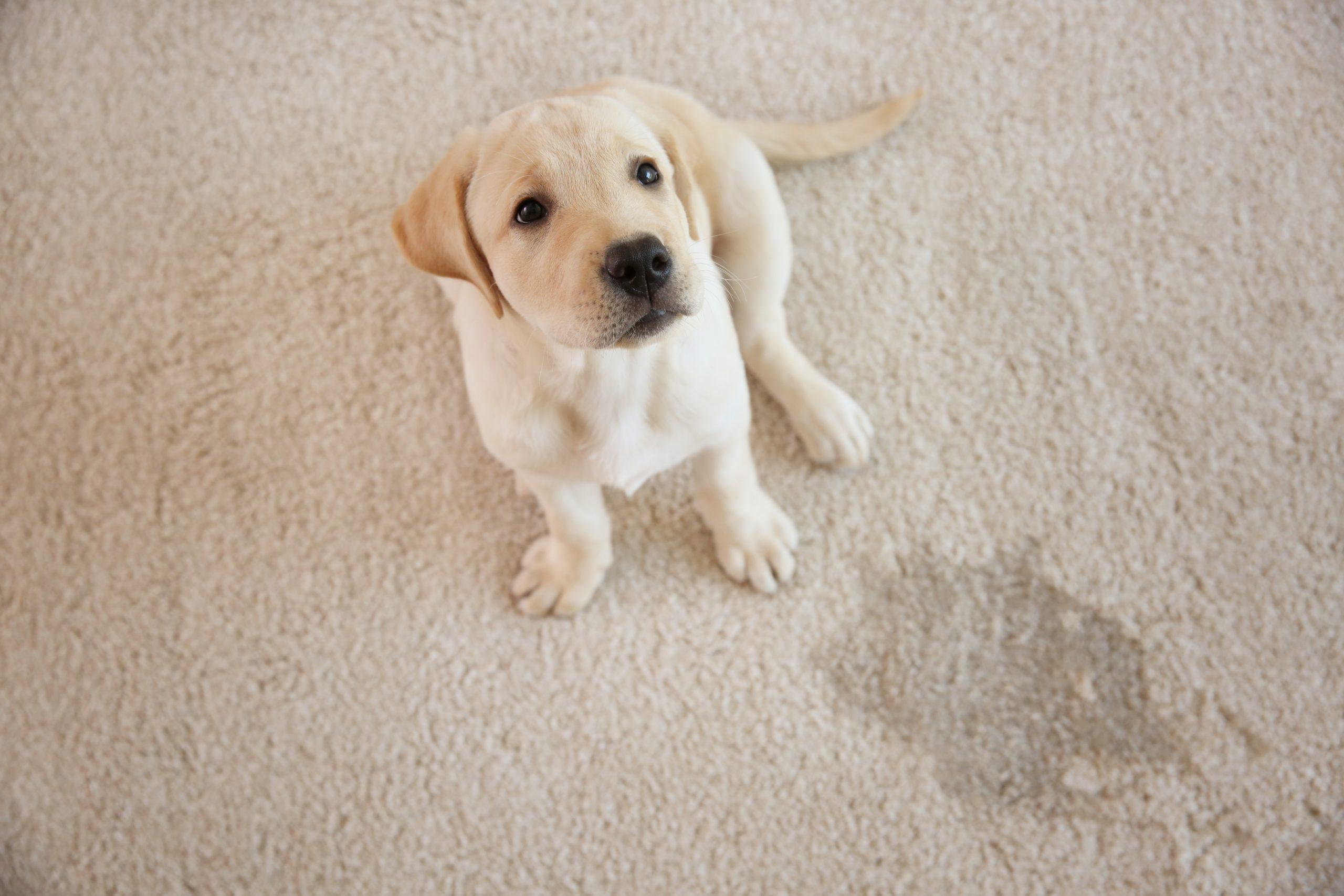 Pet Owners GuideOnCarpet Care